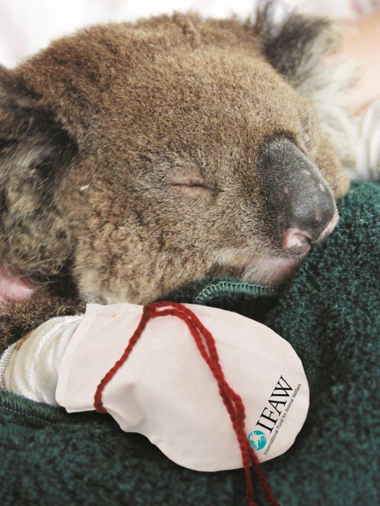 Australians are being urged to make mittens for koalas whose paws were burnt in the recent wildfires (Pic: IFAW) http://t.co/guAc1JiDAf