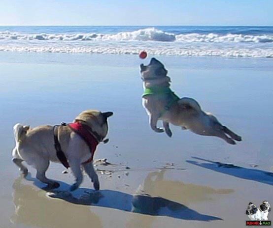 TGIF!  #pug #TGIF http://t.co/15aLmg9Lzc
