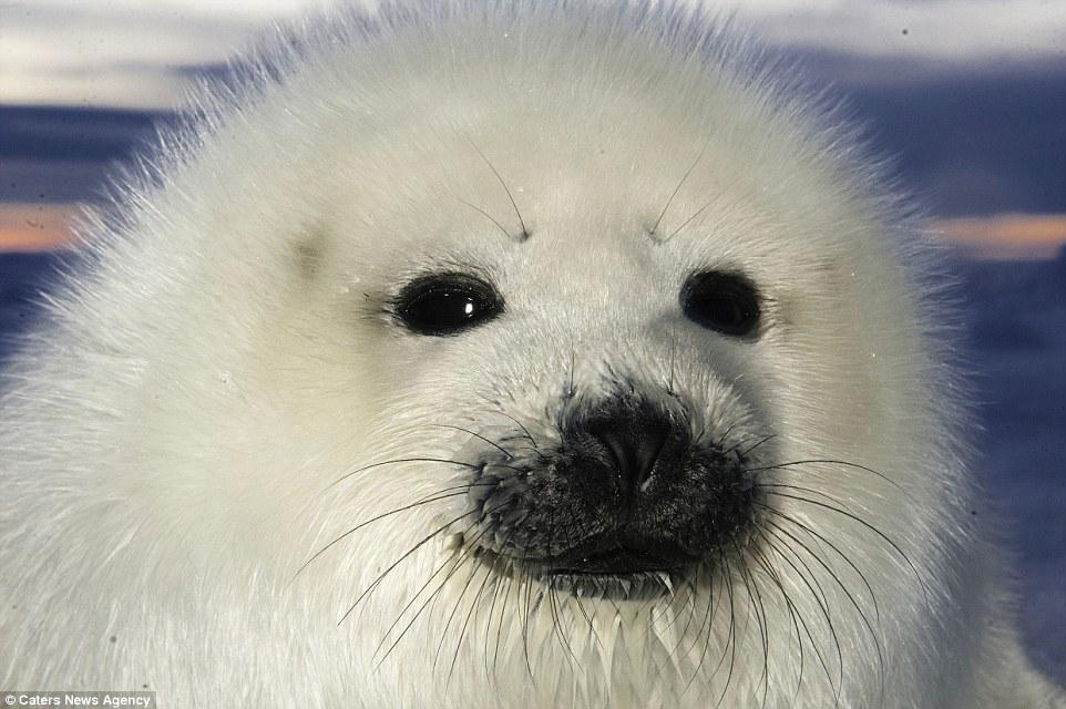 Good grief...BABY HARP SEAL ACTION! (From Mail Online.) http://t.co/5byWycWayT