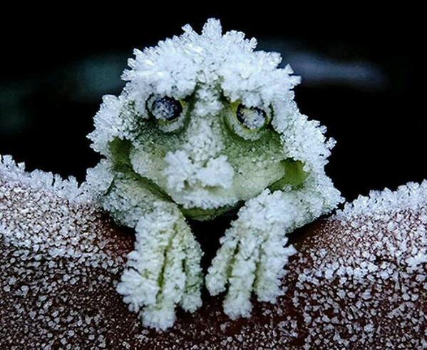 The Alaskan tree frog. Freezes solid in winter, its heart stopping, then thaws in spring and merrily hops off http://t.co/FFoKivG0av