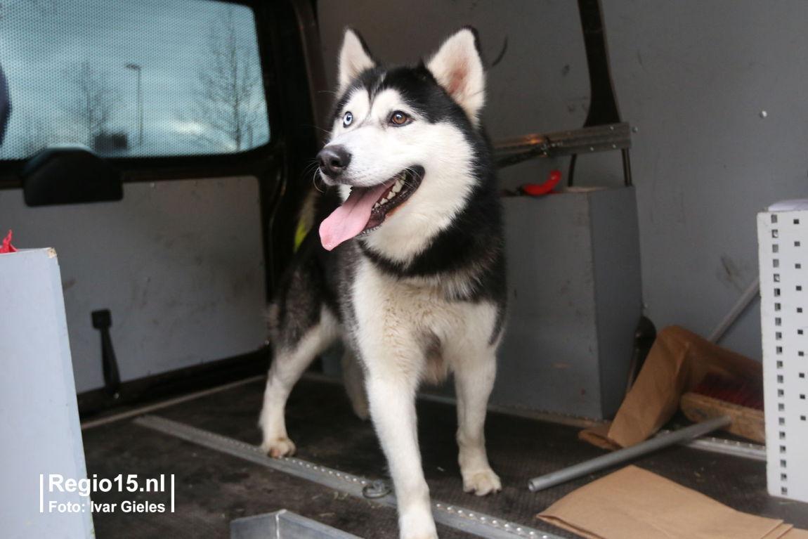 Deze hond is gevonden op de #Benschoplaan #DenHaag. Eigenaar mag bellen met 0900-8844. #vuurwerk #geschrokken http://t.co/hMAkXdkbqE