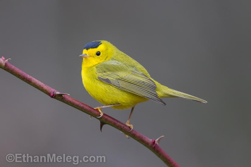 FAB!---> RT @outdoorphotos: Shot my best ever Wilson's Warbler photo yesterday in Ontario. Amazing! http://t.co/t5CB2aYclV