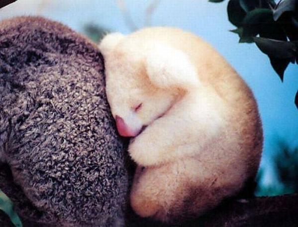 Albino Koala http://t.co/w0EvWbOYZW