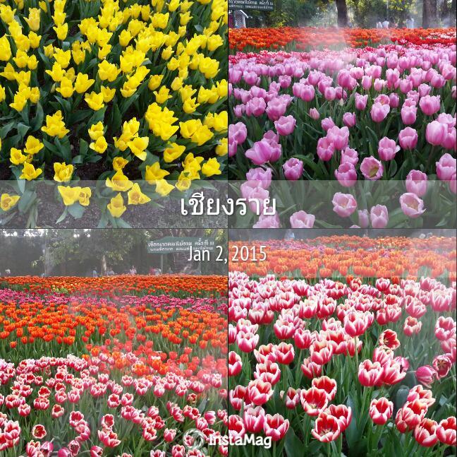 ทุ่งทิวลิปสวยๆในเมืองไทยบานแล้วที่สวนโคมและตุงจ.เชียงราย http://t.co/NYRzEsZlk9