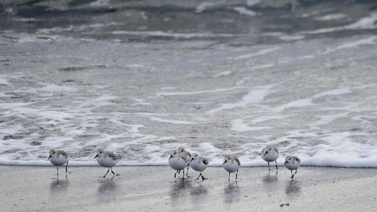 南房総市白浜町の長尾川河口付近にて(2)ミユビシギの群れです。 http://t.co/BSdgdAyrEI