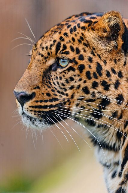 Leopard looking to the right http://t.co/2Bns9w3gco