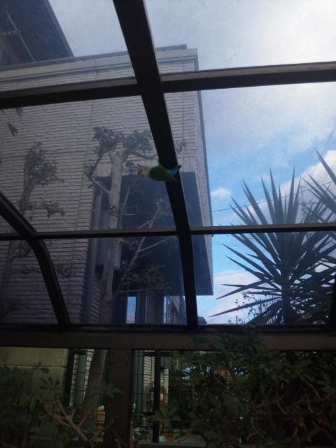 枚方市招提中町で緑、アオ等のカラフルなインコがカラスに狙われてる! 飼い主さんいませんか? http://t.co/Q0fYTazXua