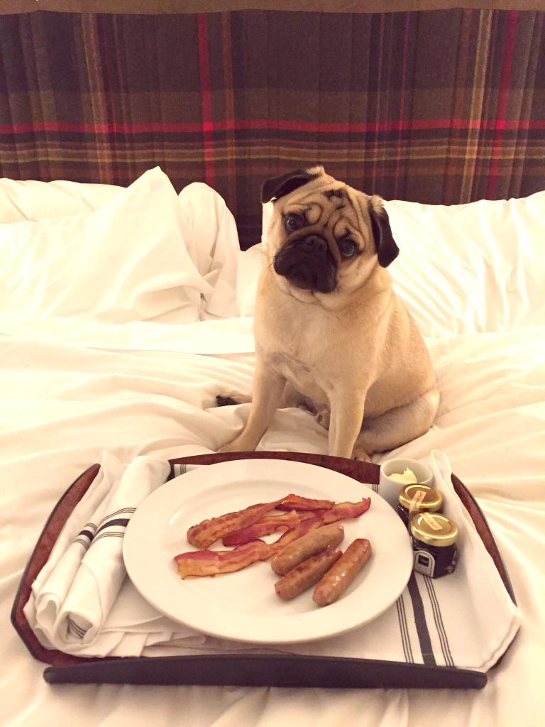 RT @otisthepugwalsh: Nothing beats a Vermont bacon breakfast in bed on my last day at @TopnotchResort! Happy Saturday Twitter pals! #pug http://t.co/2VQkHmZQJf