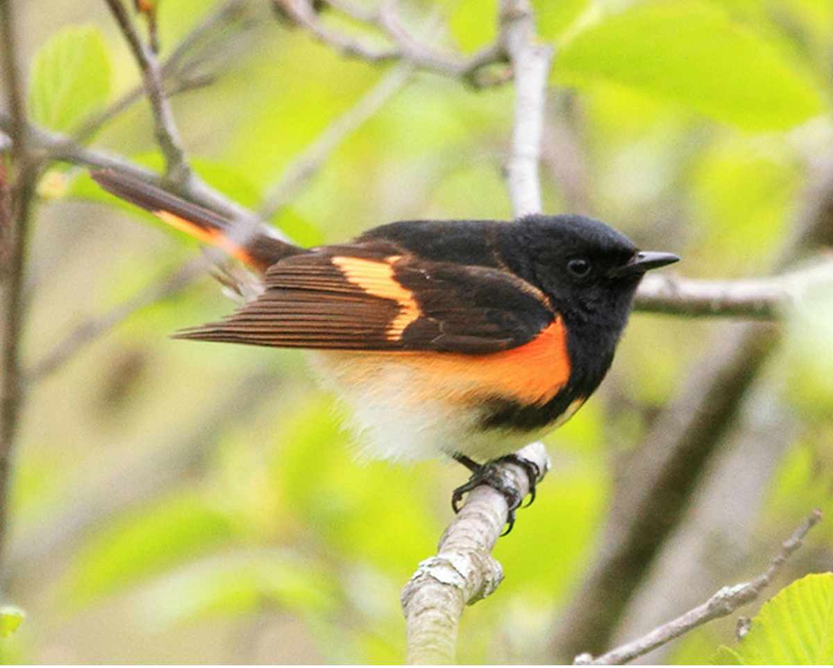 Our 11 year study supports that Am. Redstart color is linked to rainfall & temp! #ornithology http://t.co/rEqjp5dPWr http://t.co/k8VDQiQYT1