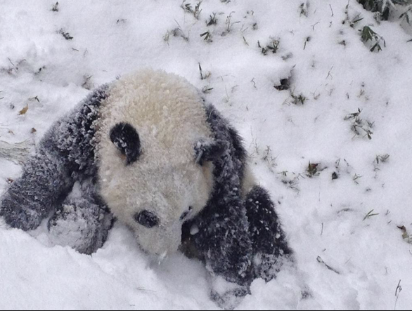 Bao Bao playing in the snow, you guys. REPEAT: BAO BAO PLAYING IN THE SNOW. http://t.co/QsTj6o68o2 http://t.co/8LZew77P9e
