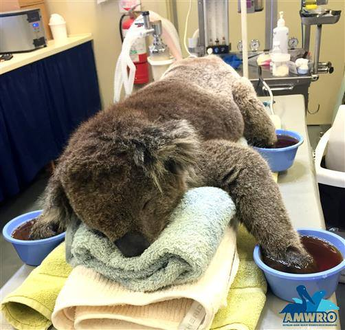#paws RT @891adelaide: Jeremy the koala recovering well from #Sampson_Flat #bushfire injuries http://t.co/NdFXVsv8Kr http://t.co/Kjxw7hCr8o
