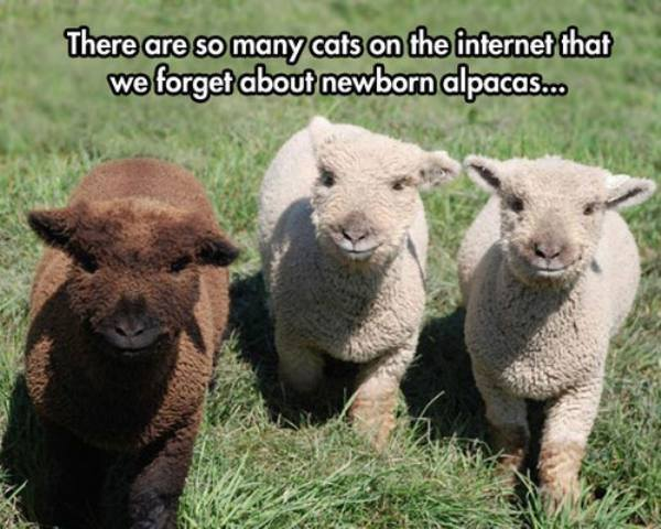 I'm speechless. These baby alpacas are way too adorable. http://t.co/Bk10IBDRTC