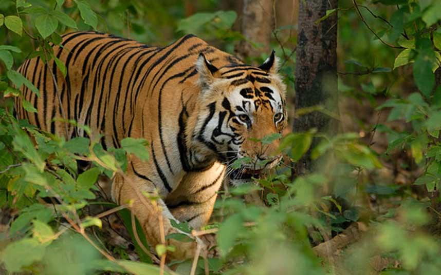 India's tiger numbers are up by 30 pc - proof of the benefits of tourism, says @TOFTIndia