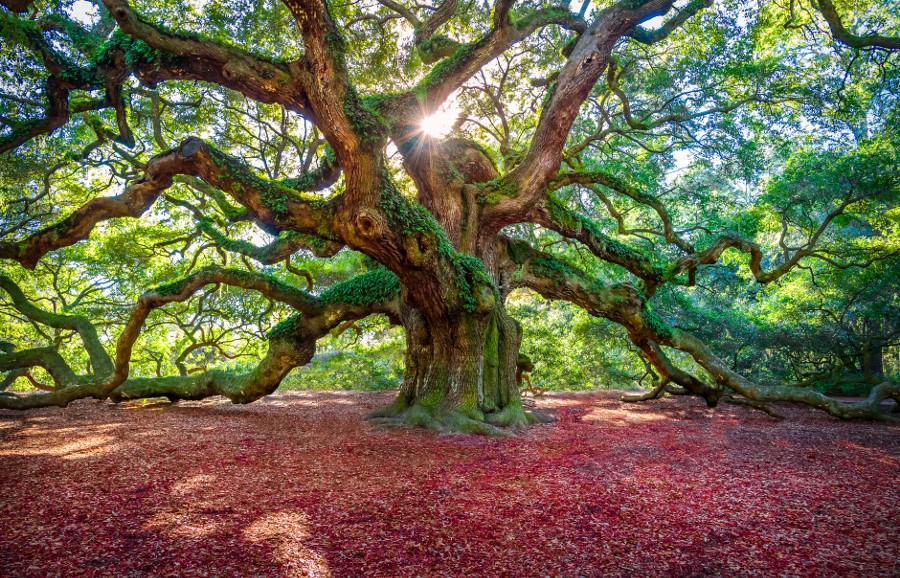 Beautiful RT @getblogphotos Angel Oak Tree, South Carolina #Photo by Shan Huang http://t.co/4cKuAzdmn0 #nature #photography