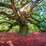 Angel Oak Tree, South Carolina #Photo by Shan Huang http://t.co/7eCNunO1mE #photography