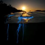 Bluebottle Jellyfish, Australia #Photo by Matthew Smith http://t.co/YvECT7CJww