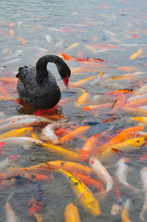 A Black Swan in a Koi Pond. http://t.co/en9TGZb2IQ