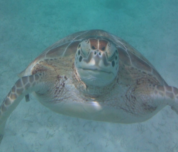 """Come swim in Akumal #Mexico: It means """"Place of the Turtle."""" #travel - #AAAInspector 8 http://t.co/8umM61frm9"""