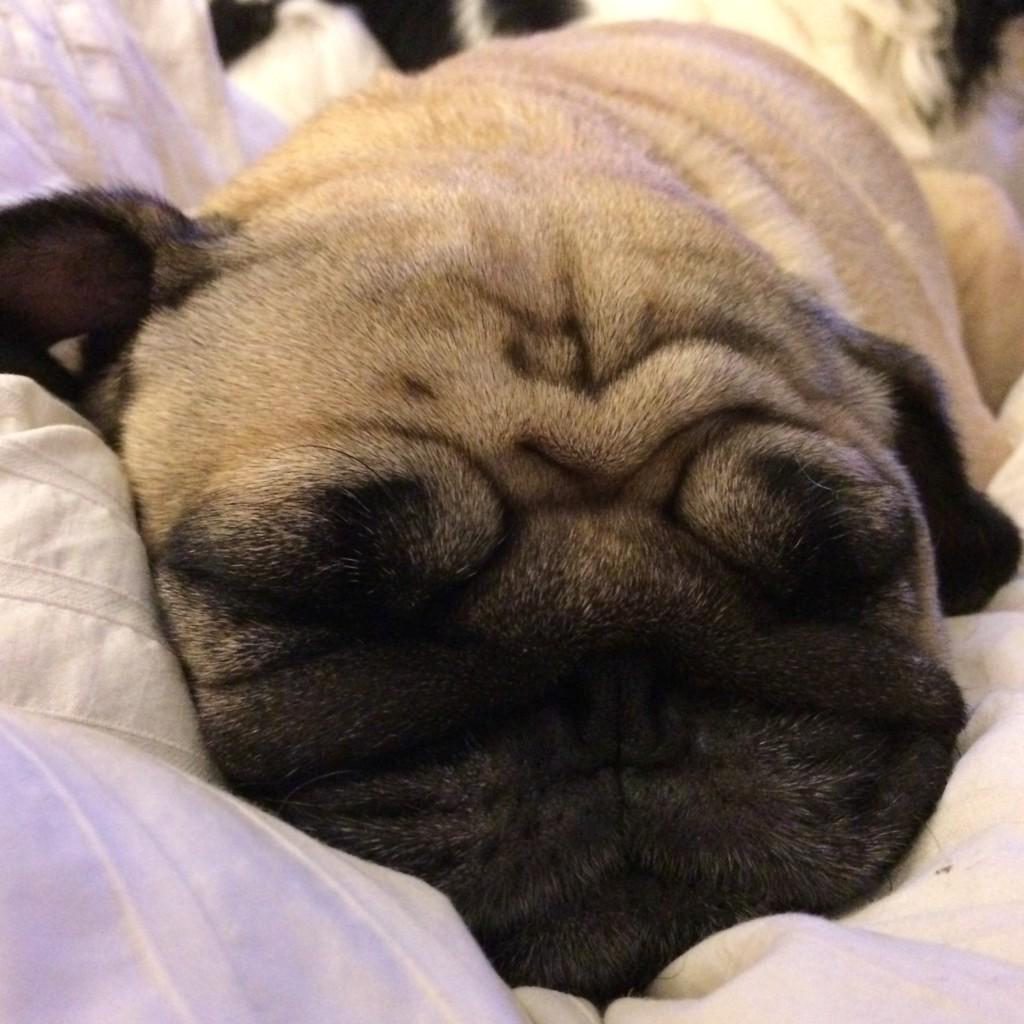 This Sunday squishy-face is brought to you by a melted buttery Chloe Bisou.💋 #pugs #puglove http://t.co/6i60ViMrx4