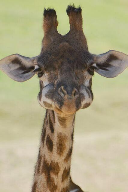Baby Giraffe with his mouth full: http://t.co/y10KeNcq1A