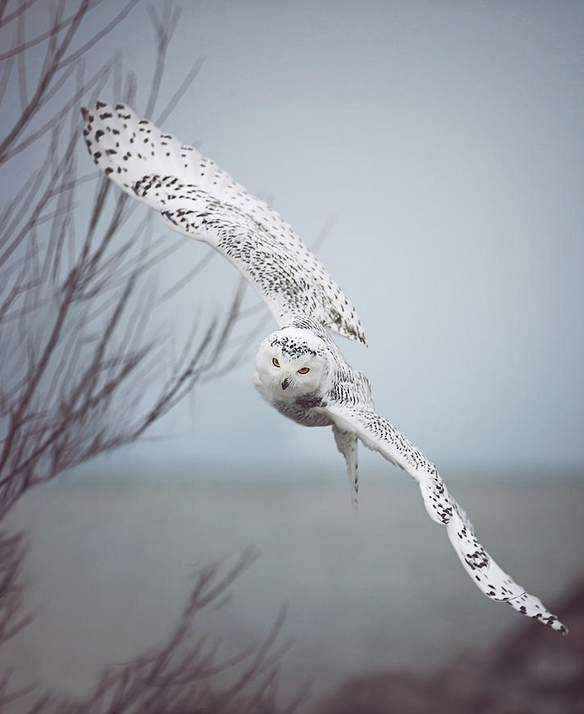 'Snowy Owl in Flight' by Carrie Ann Grippo-Pike http://t.co/9je83jj4Ut http://t.co/LZfSPa8QfV