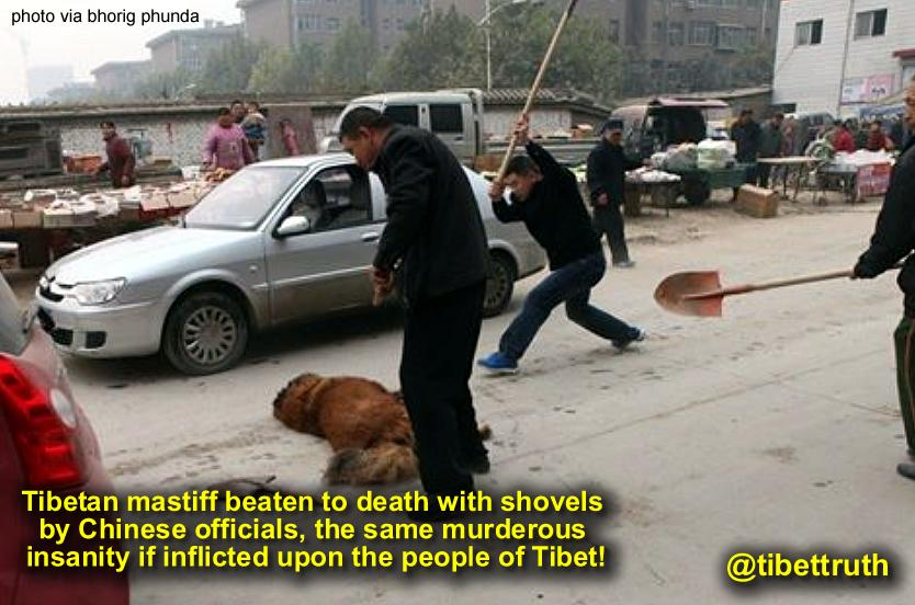 Chinese Officials Beating #Tibetan Mastiff To Death With Shovels. #trueTibet #cruelty #AnimalRights http://t.co/rtFMKwotSU