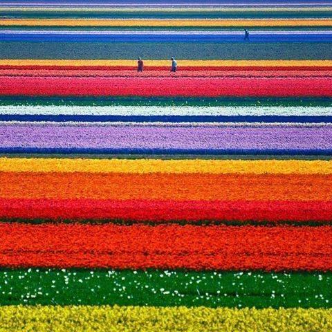 Tulip Fields in Netherlands: http://t.co/SPsvssLcZ2