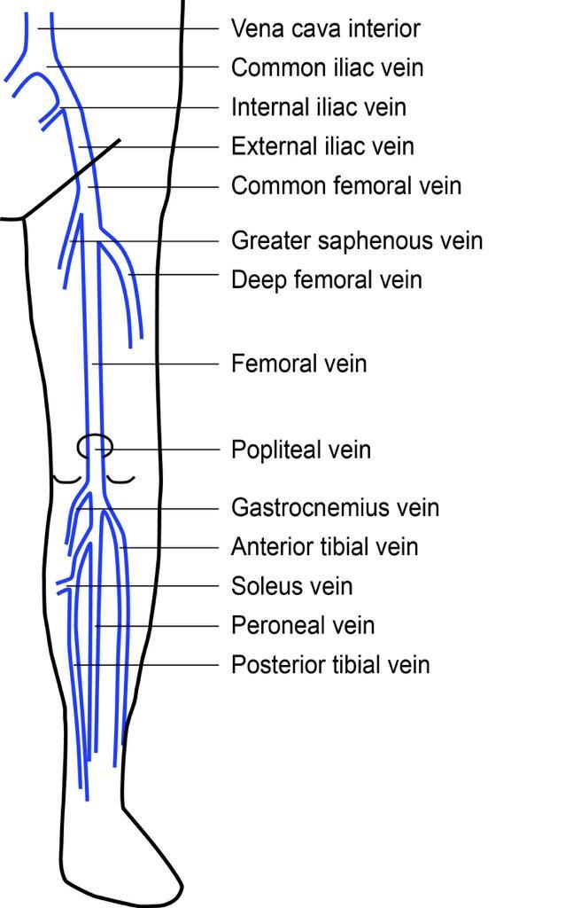 Lower extremity veins anatomy
