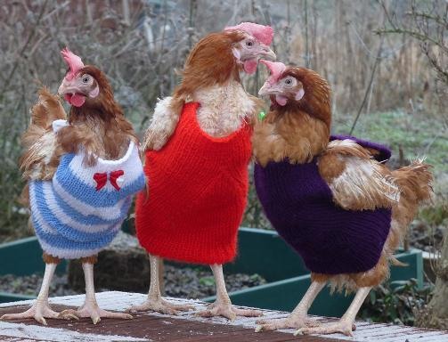Raystede Animal Sanctuary want people to knit woolly jumpers for chickens who've lost feathers http://t.co/ekDbo3u0Zd http://t.co/bvW7inIatU