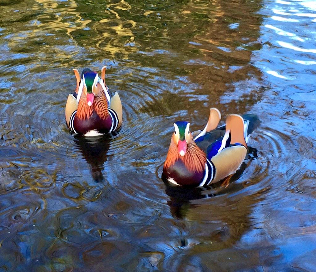 Beautiful Mandarin ducks @kewgardens today. http://t.co/PYJRloTS0e