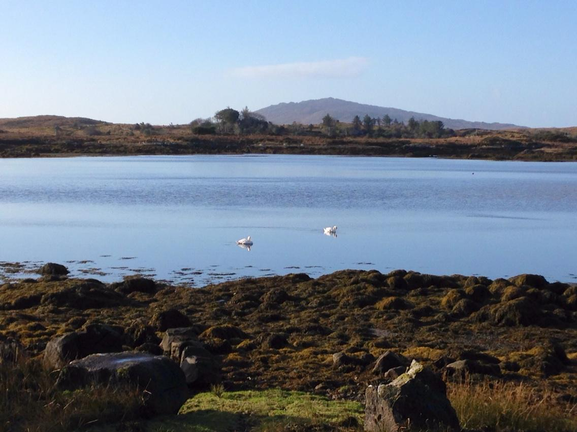 Swans #Cashel #Connemara #WildAtlanticWay @DiscoverGalway @CashelHotel http://t.co/5HBugd92Zz
