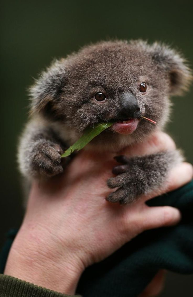 Baby Koala http://t.co/t2QNpm3jHz