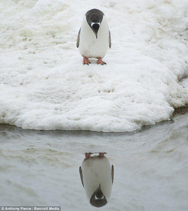 A self-aware penguin #PenguinAwarenessDay http://t.co/abMQx9e4dE