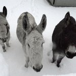 The three donks in their paddock-Rufus Clive Billie -they cannot figure out the white stuff  -none in Sicily! http://t.co/ZvQehNOxo8