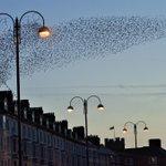 A fantastic #murmuration of #starlings this evening in #Aberystwyth. @mrsgummidge @visitceredigion http://t.co/ko2pILzd0c