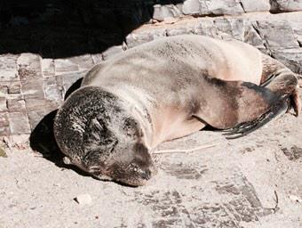 Found sick and tired seal pup on beach. Called marine rescue. All is well.  She'll be eating sushi tonight. http://t.co/YzgrpLkOLg