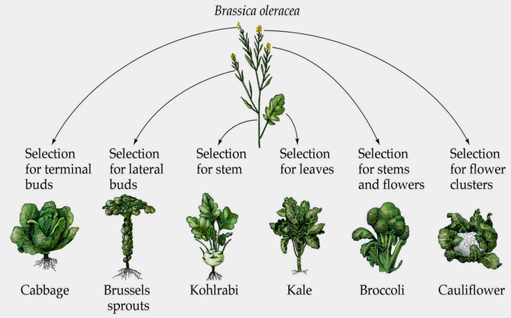 "Surprised? Broccoli didn't occur ""naturally"" humans bred it from wild mustard  RT @ecoschemes http://t.co/hEd89wsZW9"