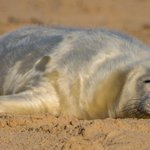 So thats it, the grey seal pupping season is officially over! 2426 pups born smashing last years total by 860 pups! http://t.co/uMaG6jZHxO