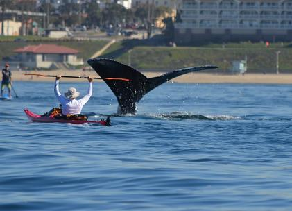 """#VisitRedondo """"@NBCLA: PHOTOS: A kayaker had a whale of a time in the water off Redondo Beach http://t.co/mWvqPVpfD5 http://t.co/W6pO3XjCpu"""""""