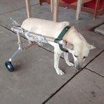 Cachorrinha ganha cadeira de rodas feita por bombeiro http://t.co/LCmuztiRKt #G1 http://t.co/18eXpjwbwt