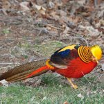 'Rudy,' the golden pheasant, creates buzz after escaping from his Nova Scotia home. http://t.co/4sUltjaNxw http://t.co/eTivwCIEa6