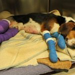 Beagle Paws is seeking support to help with Texs vet bills. http://t.co/TiEwM3svmF http://t.co/f3585uy6j7