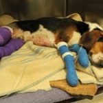 Heres Tex, the beagle dragged by a truck on Higgins Line yesterday. Beagle Paws expects him to make a full recovery http://t.co/t2d6qJNcPH