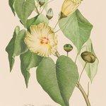 【開催中】キャプテン・クック一行が見た、18世紀の知られざる植物『バンクス花譜集』展が渋谷で開催 - http://t.co/5CJjZjhN3C http://t.co/UFscJSOADl