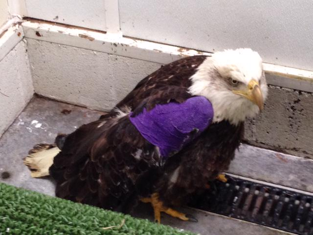 We needed your help finding the shooter of this wounded #baldeagle! http://t.co/0mwRauzgpO http://t.co/1frPRMBXJ7