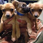 Our Pets of the Week are 3 Chihuahua mix puppies. Please give them good homes! http://t.co/mGh6vtiUi7 http://t.co/8roFdYbRuH