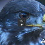 How does #Seahawks bird get ready to fly at #SB49? http://t.co/iiKQalATeZ via @MelissaKXLY4 @kxly4news #GoHawks http://t.co/ZZHlI6xcBC