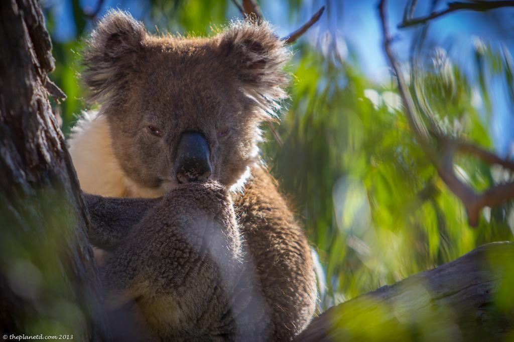 Koala Cuteness in South @Australia @SouthAustralia