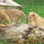 Póngale nombre a los 2 cachorros de león que nacieron en #Baños http://t.co/IKt5f3DICW http://t.co/mkVgr90Q1H