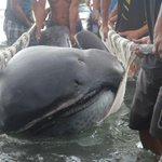 Espécie rara, tubarão-boca-grande fica preso em rede de pesca nas Filipinas http://t.co/2w9AXkveqz #G1 http://t.co/LoRmUZyzZC